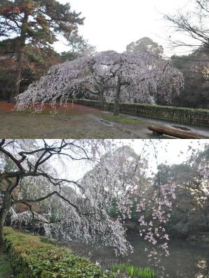 近衛邸跡のしだれ桜