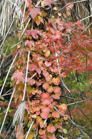 京都の紅葉2012-1