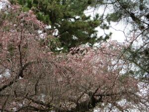 京都御苑桜便り2013-1