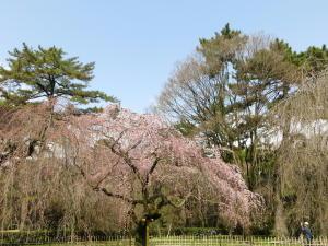 京都御苑桜便り2013-2