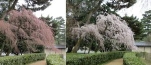 京都御苑桜便り2013-3