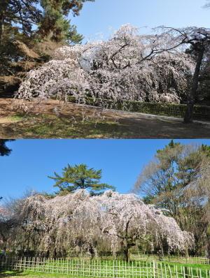 京都御苑桜便り2013-4
