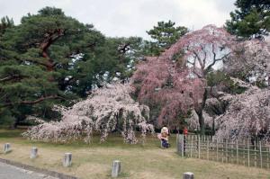 京都御苑桜便り2013-6