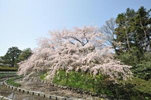 2013京都お花見(1)