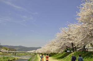 加茂川の桜