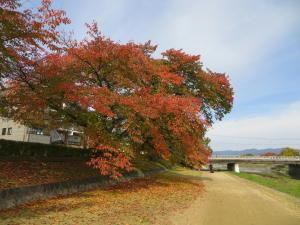 賀茂川沿いの紅葉